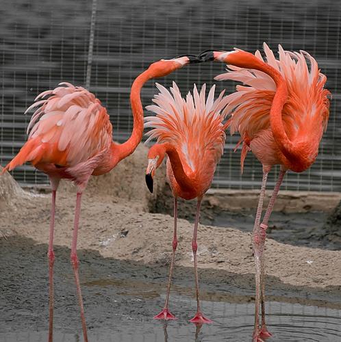 3 фламинго